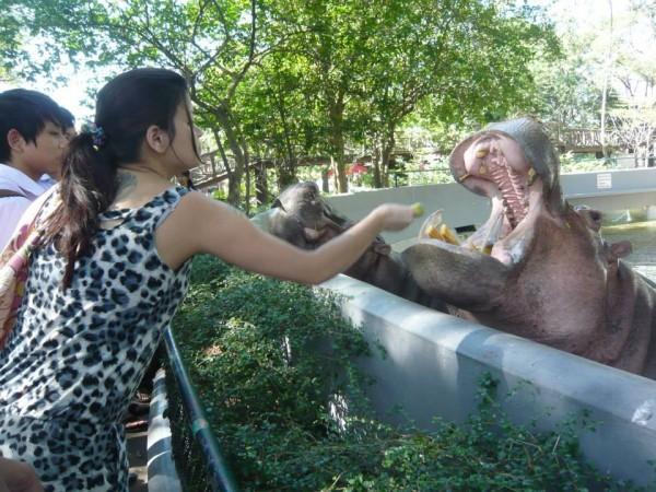 Feeding Hippo - Dusit Zoo, Bangkok