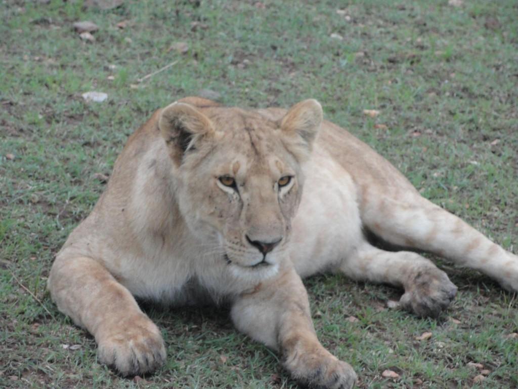 Lioness , Masai Mara