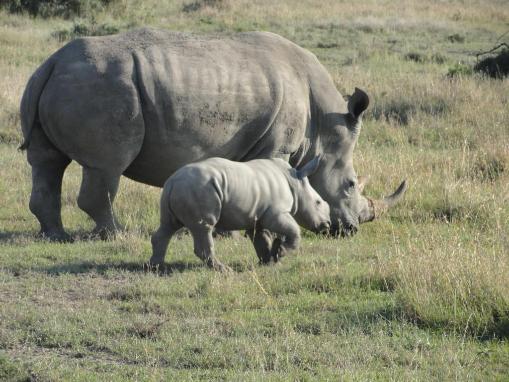 Rhino with Baby Sweetwaters