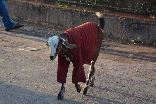 Goat at FatehpurSikri