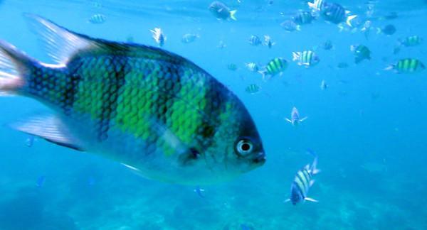 indo pacific sergeant fish