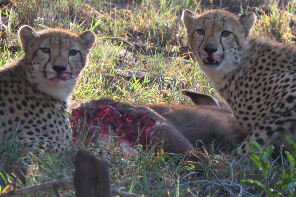 two cheetah