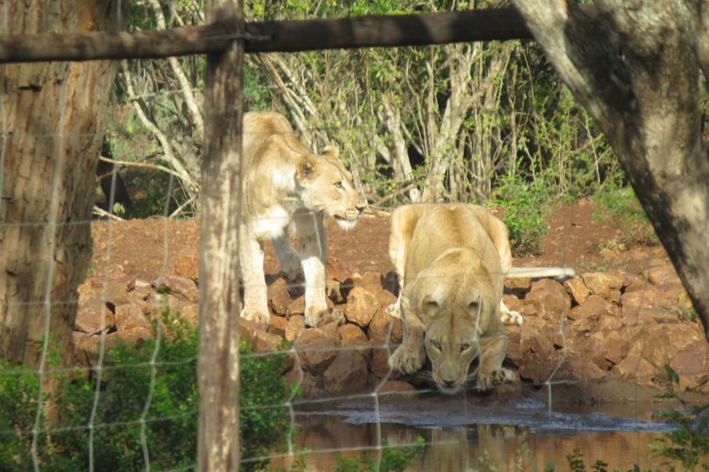 lions at waterhole