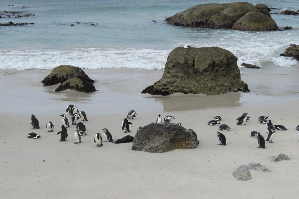 penguin colony at boulders