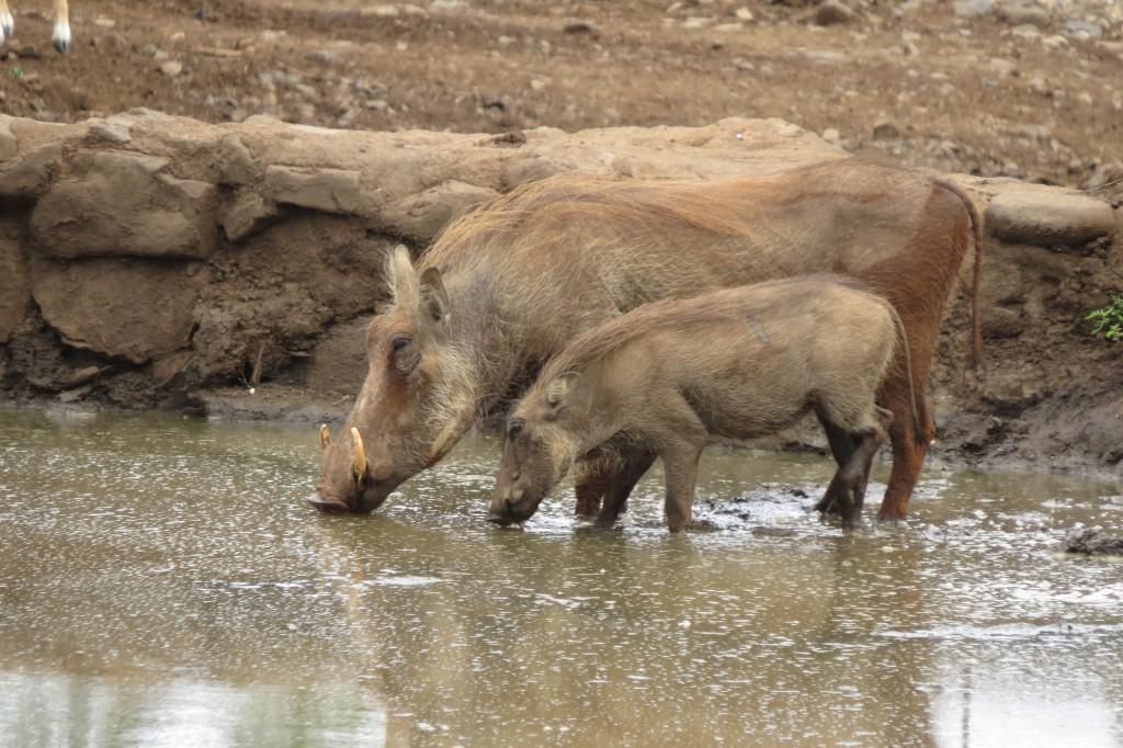 Warthogs at Manyoni waterhole