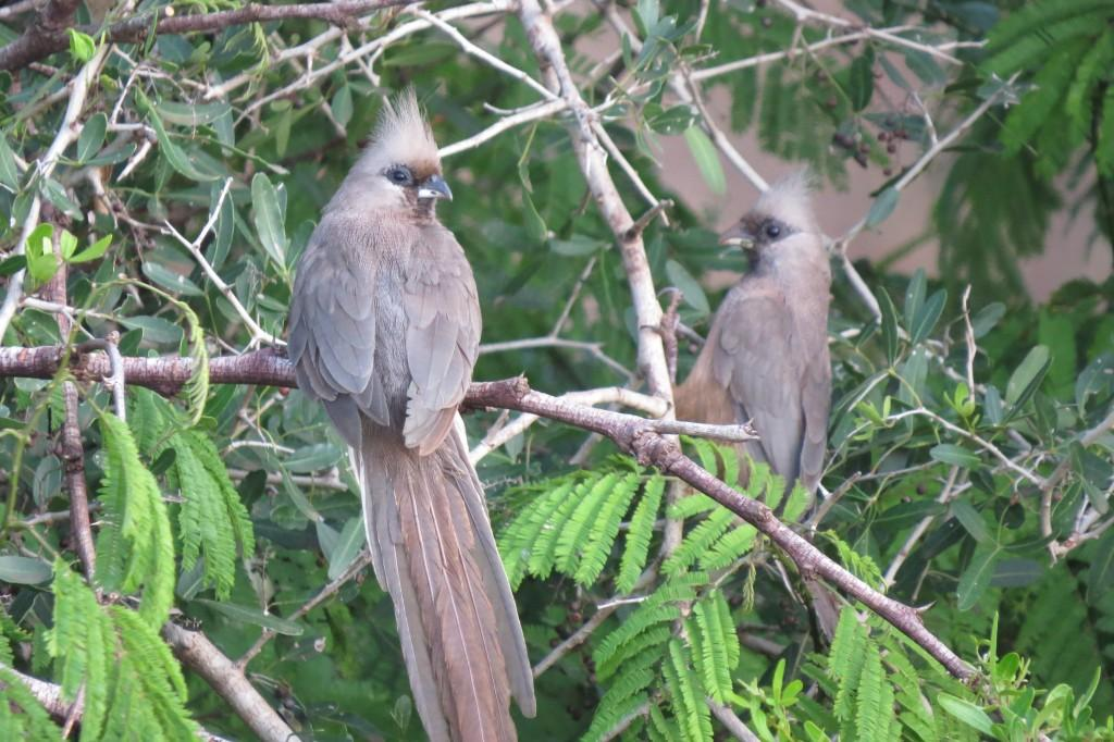 Speckled Mousebirds perched on a branch