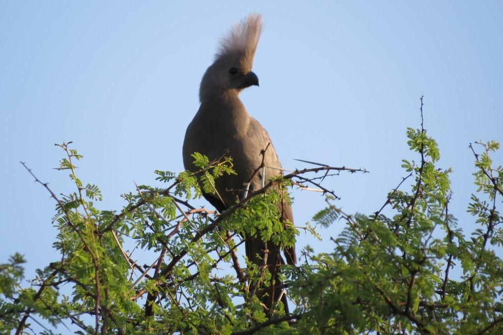 A lovely Grey go-away-bird