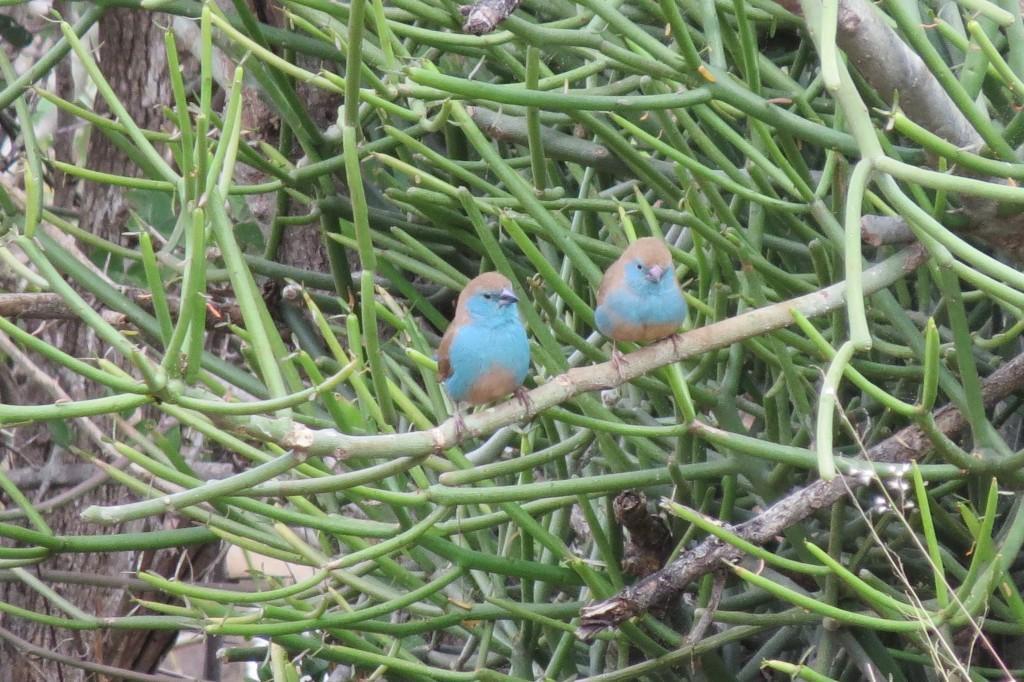 A cute pair of Blue Waxbills