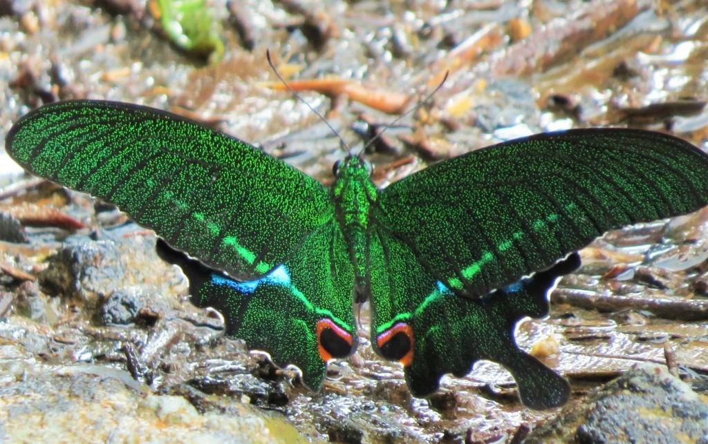Paris Peacock butterfly wayanad