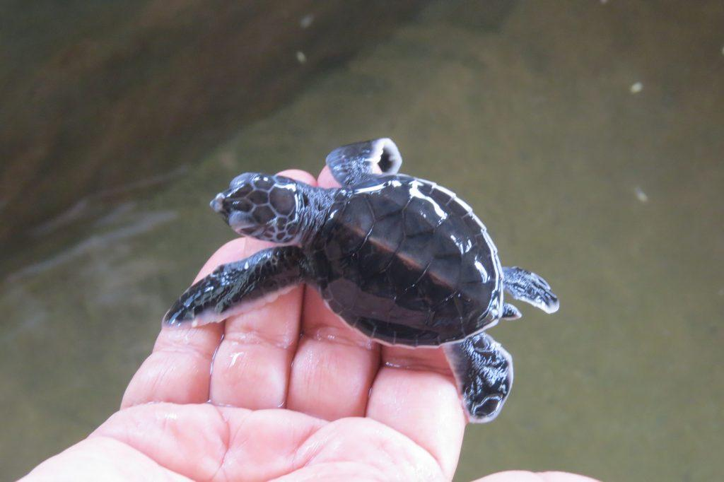 Baby turtle at hatchery