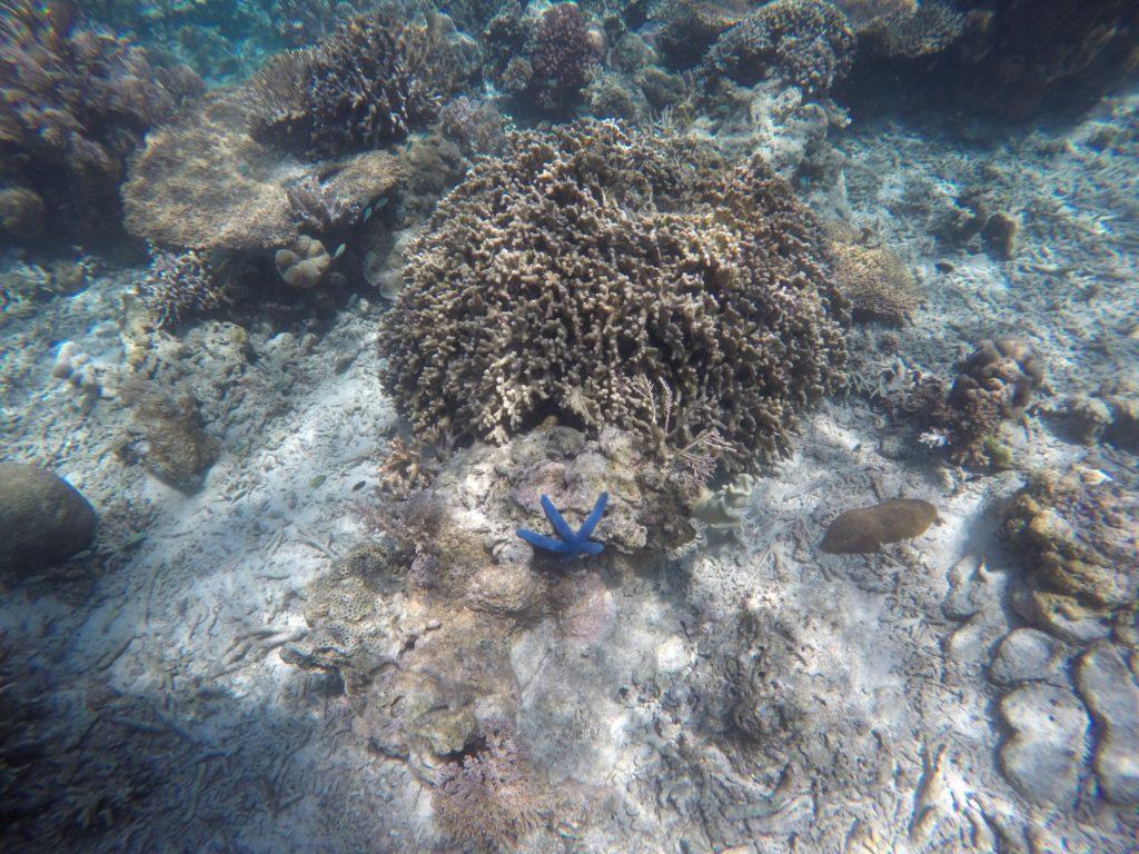 exotic blue star fish