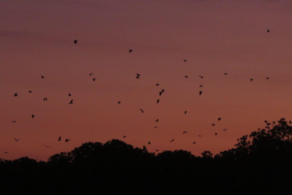 Bats hovering over the mangroves