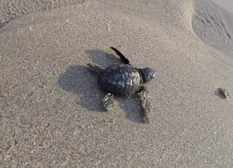 sea turtle release kuta
