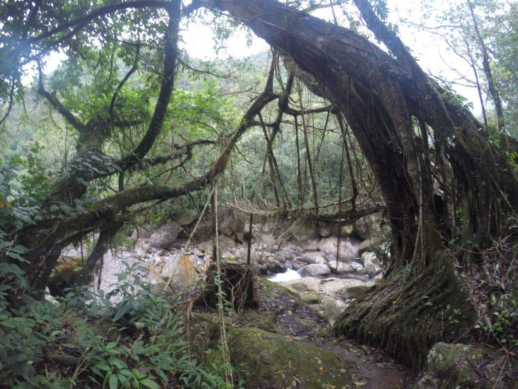 Single-decker living root bridge