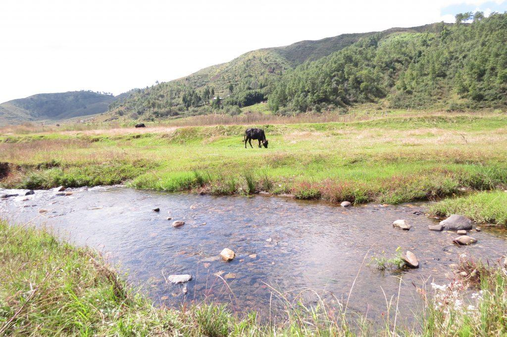 Black cow grazing :)