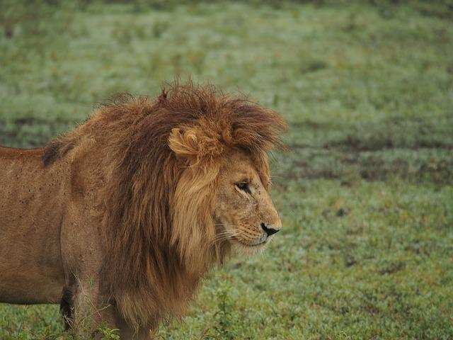 lion at serengeti