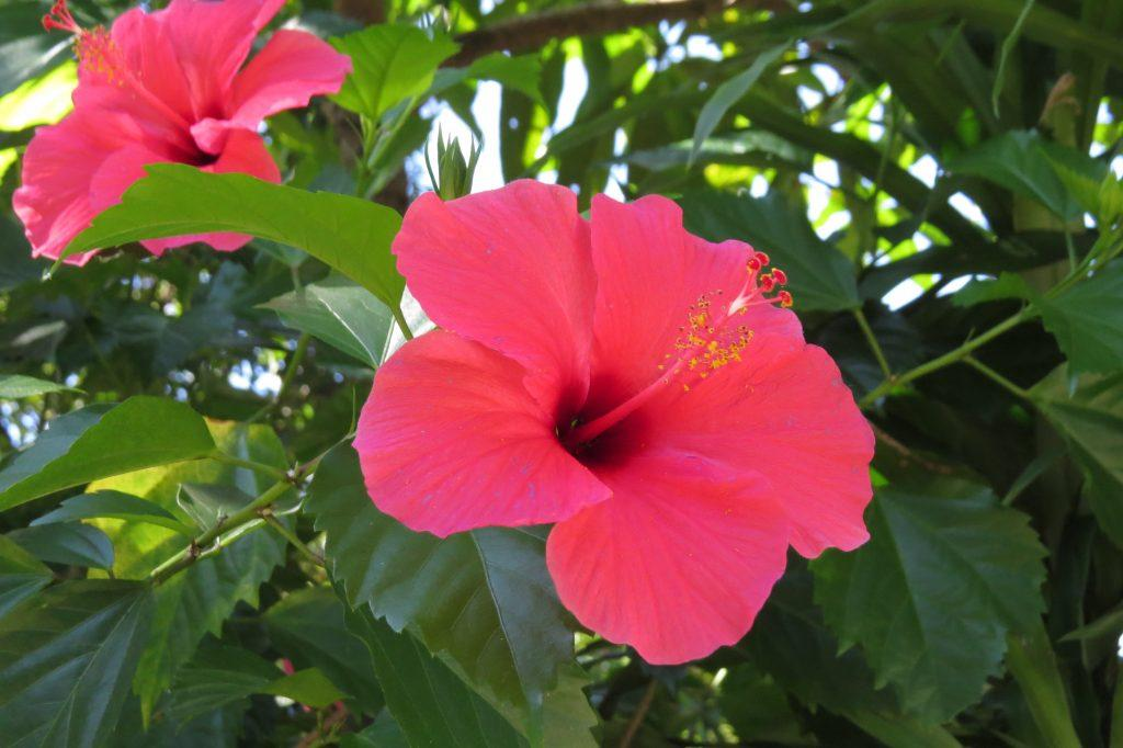 Hibiscus flowers were in full bloom all around