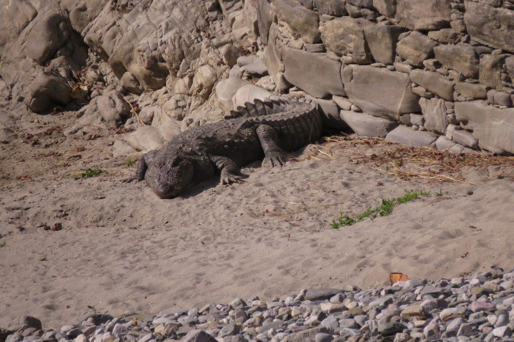 A lone croc basking in the sun