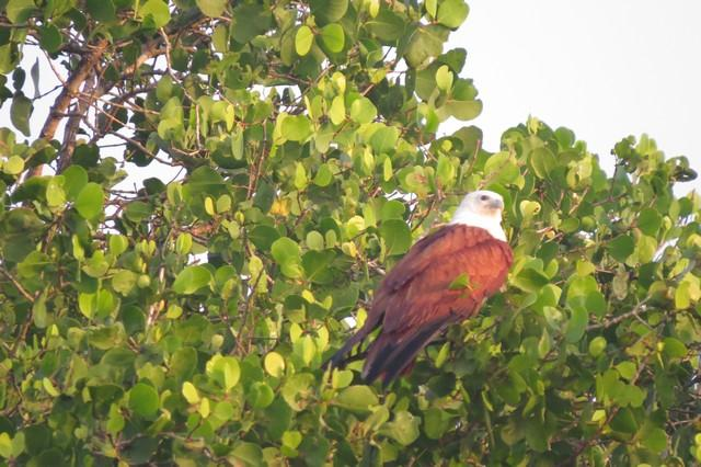 brahminy kite in goa