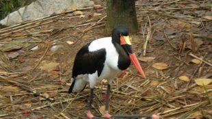 Lesser Adjutant Stork at Jurong Bird Park