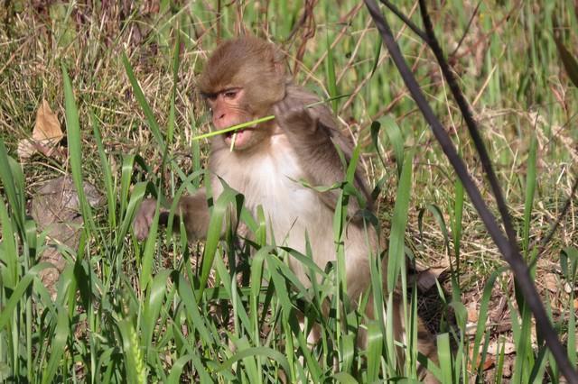 monkey deoriatal