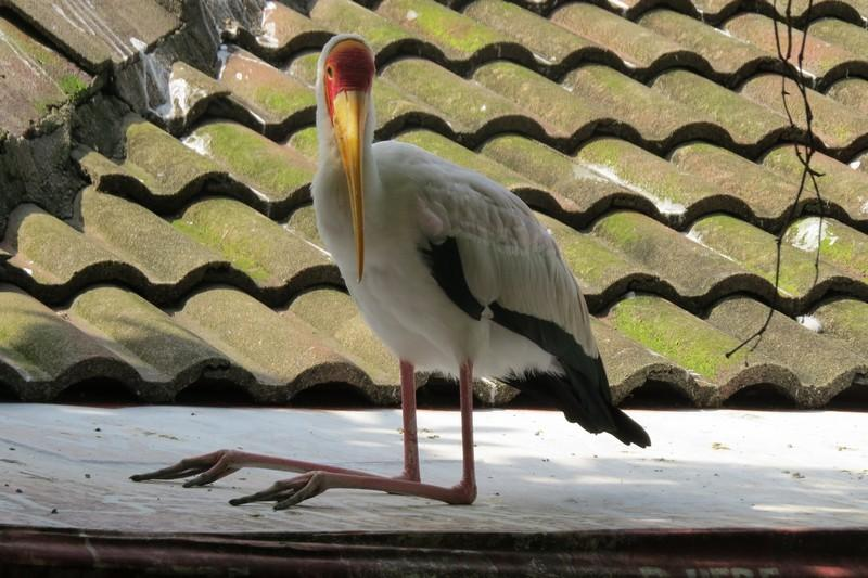 A Yellow Billed Stork perched upon a Restaurant roof