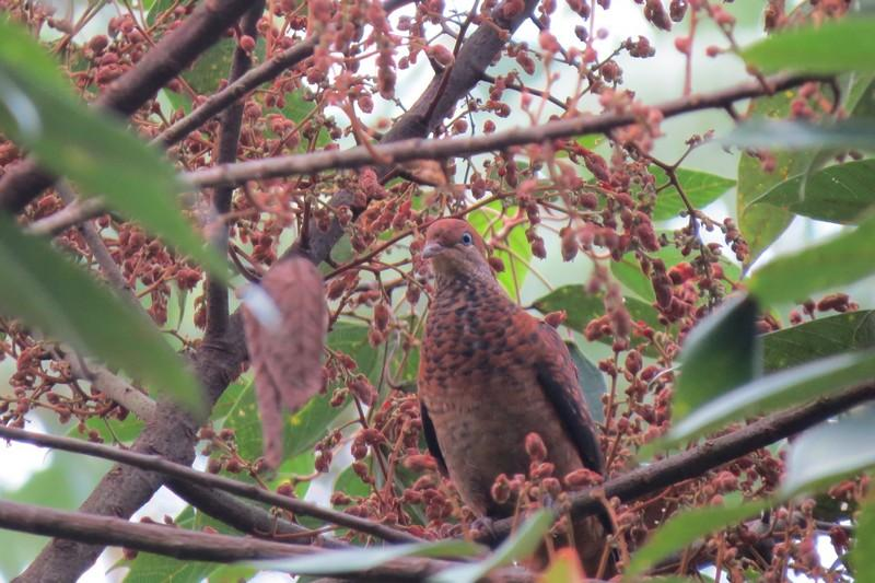 Little Cuckoo-dove genting highlands