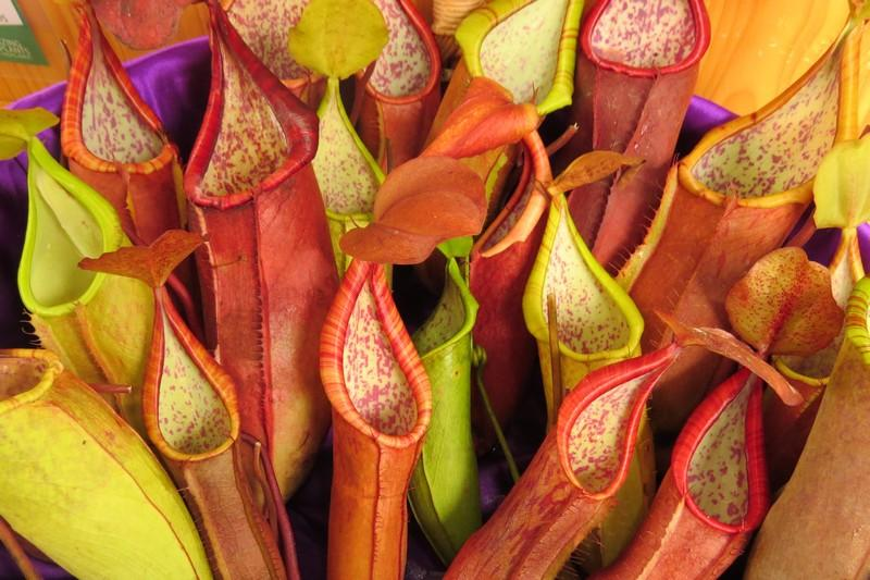 The exotic colorful Pitcher plants