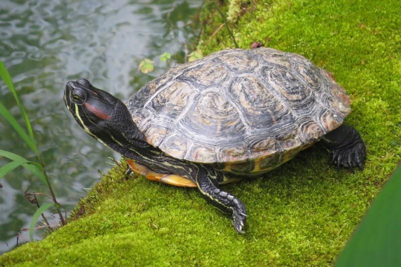 tortoise in english garden