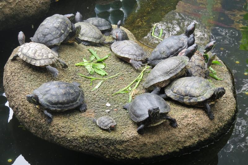 Turtle pond at Chin Swee