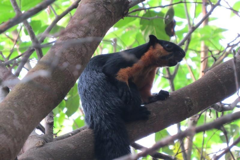 Indian Giant squirrel malaysia
